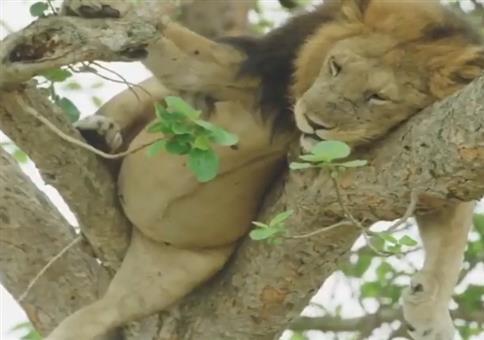 Wenn der Löwe aufm Baum einfach mal laufen lässt