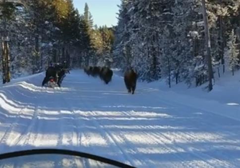 Als uns plötzlich die Bison Herde entgegen kommt