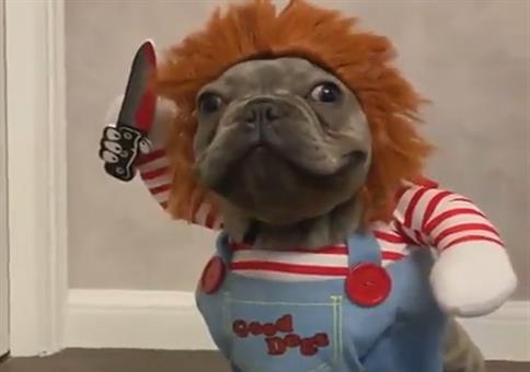 Chucky Hund