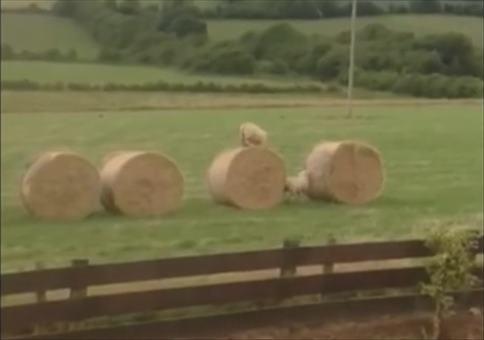 Parkour Schafe in Irland