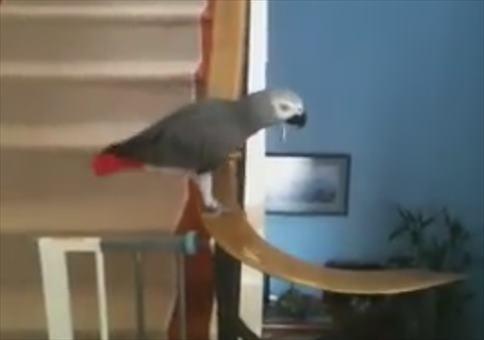 Papagei nimmt die Treppe