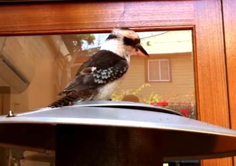 Der Ruf eines Kookaburra