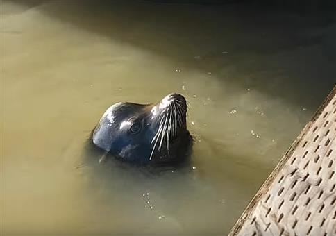 Seelöwe zieht Mädchen ins Wasser