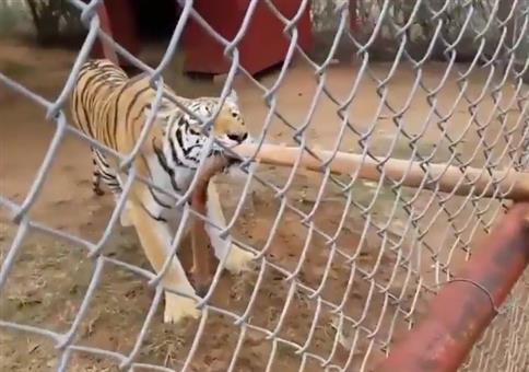 Tiger Tauziehen