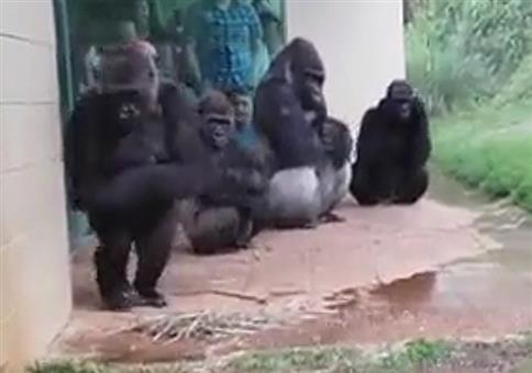 Auch Gorillas möchten ungerne nass werden