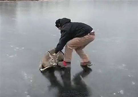 Das Reh vom Eis schieben