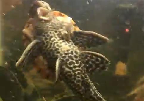 Schildkröte reitet Fisch