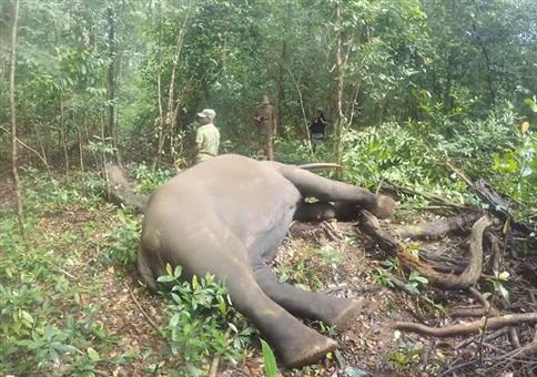 Elefant nach der Betäubung mit einem letzten Gruß