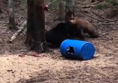 Neulich im Wald: Kämpfende Bären überall