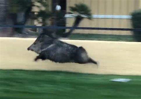 Ein Wildschwein auf Speed