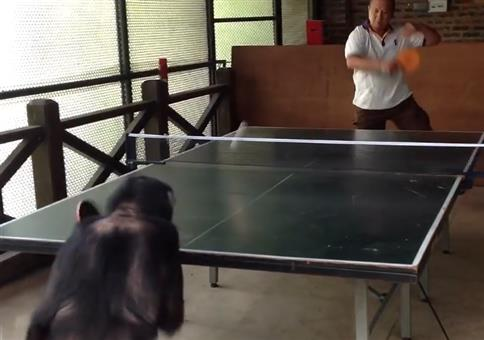 Wenn ein Affe besser Tischtennis spielt als du