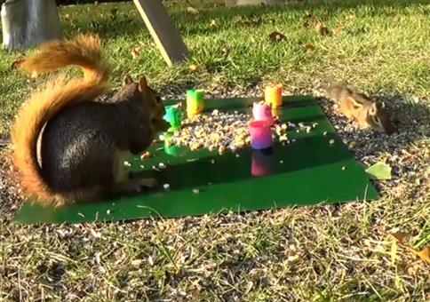 Eichhörnchen trollt Streifenhörnchen