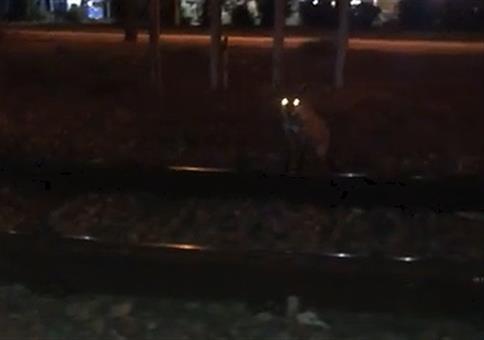 Wer den Fuchs ruft...