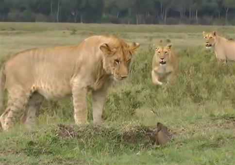 Ein Mungo vs vier Löwen