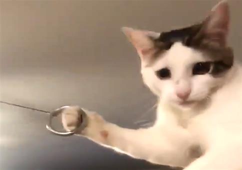 Katze spielt Ringing the Bull
