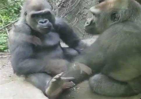 Gorilla Nippelzwicker